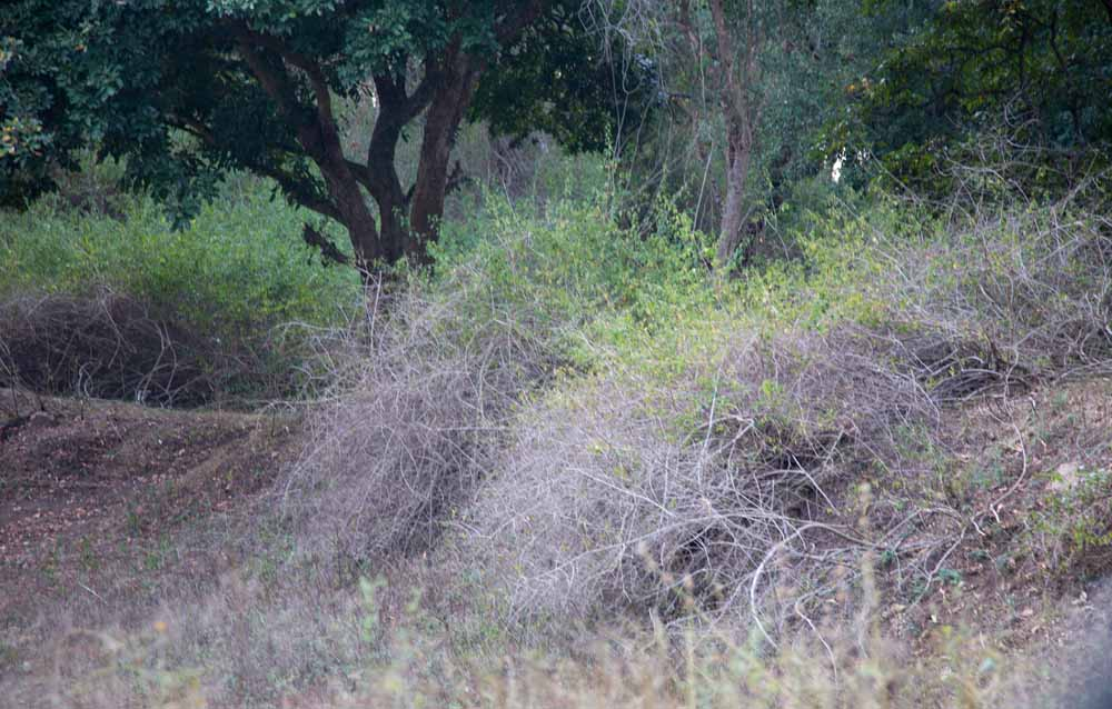 Lantana hedge-4.jpg