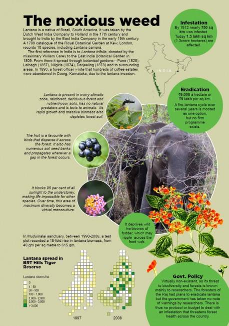 lantana infographic.jpg