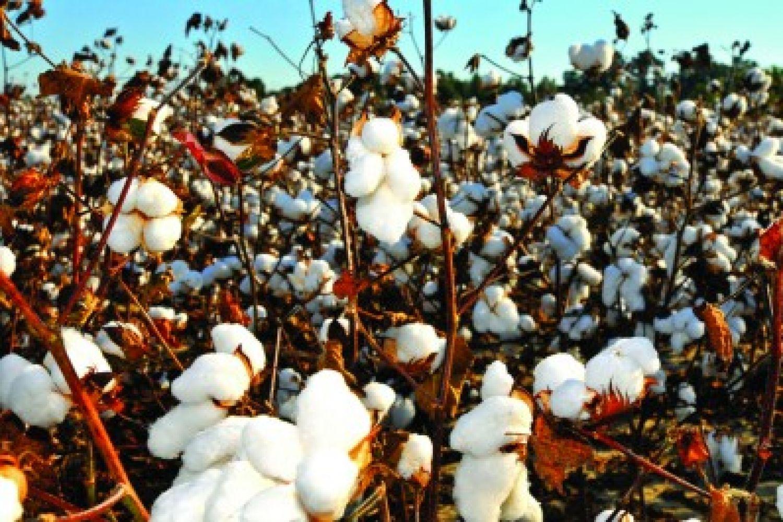 bt cotton  india u2019s crop of despair