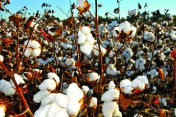 Bt cotton: India's crop of despair